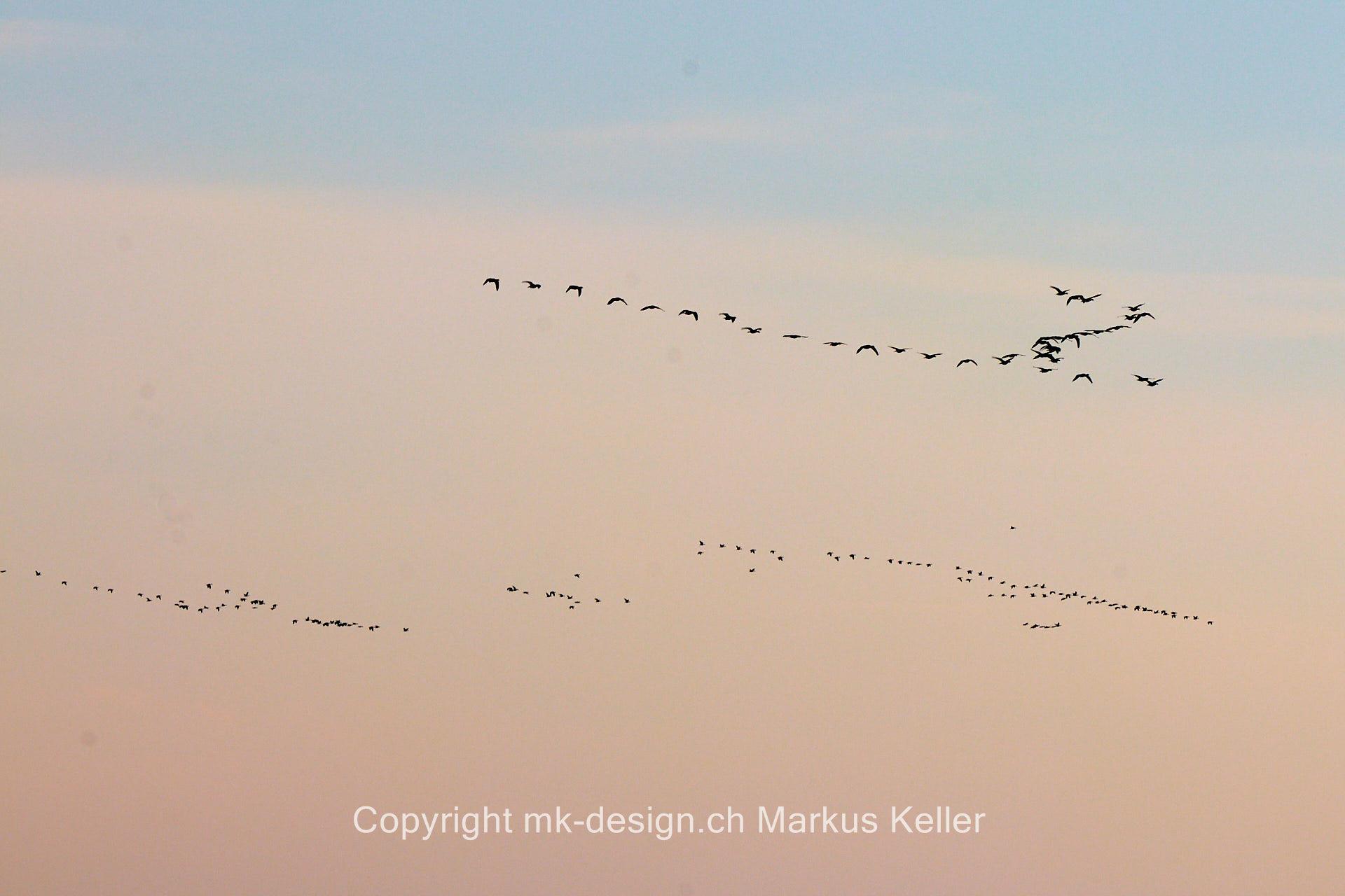 Tier   Vogel   Wildgans
