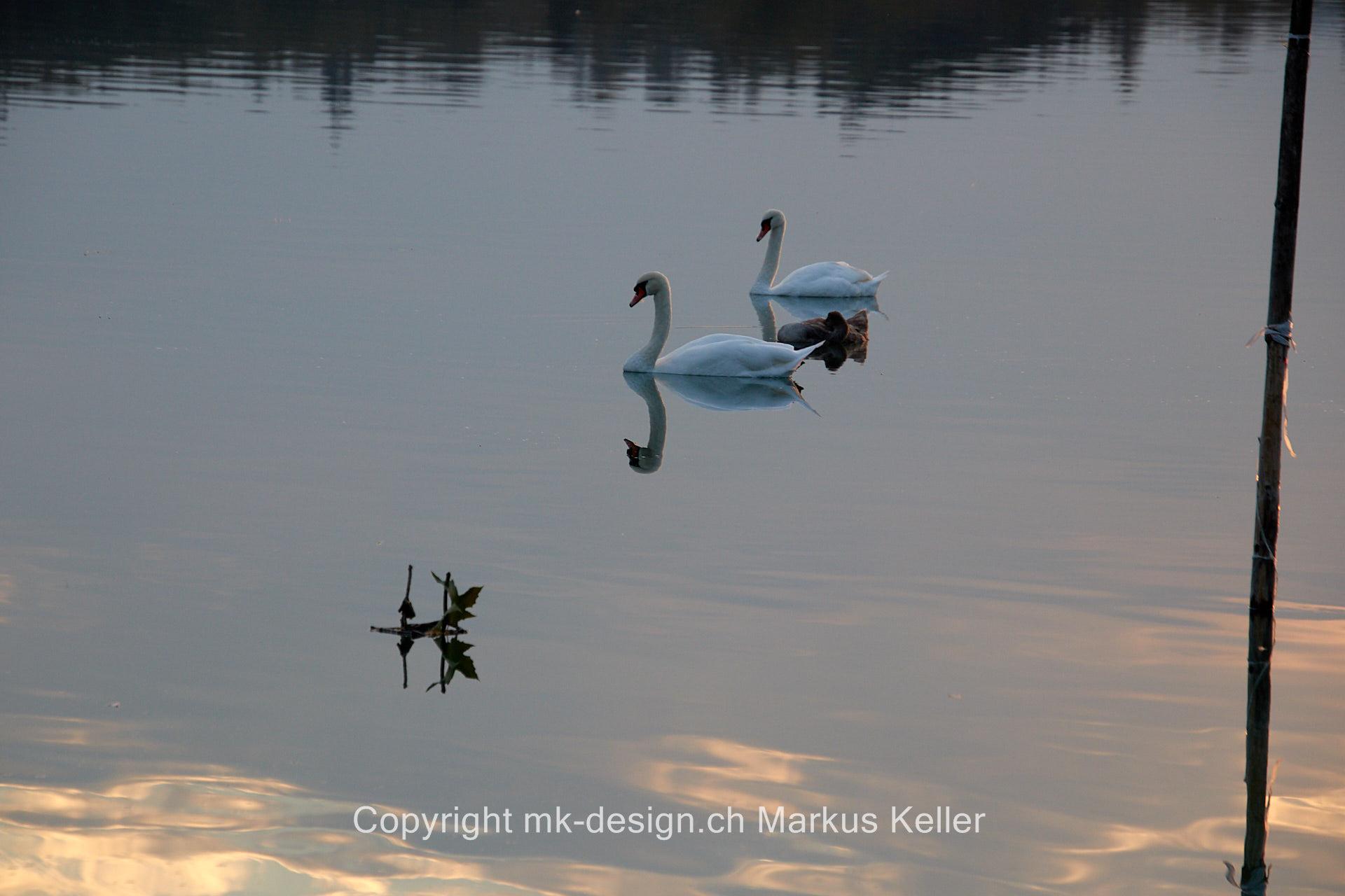See   Pfäffikersee   Tier   Vogel   Schwan   Boot