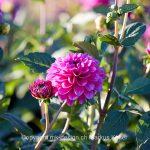 Pflanze   Blume   Dahlie
