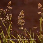 Pflanze   Gras