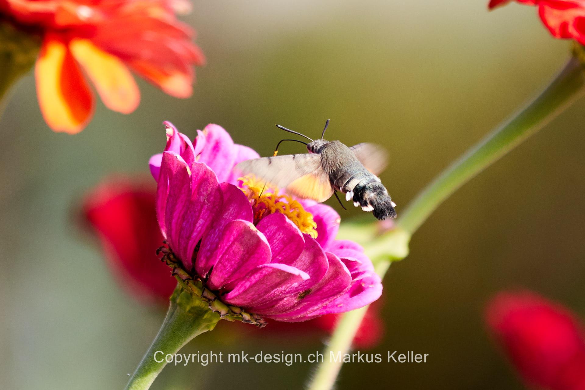 Tier   Insekte   Schmetterling   Taubenschwänzchen   Pflanze   Blume   Zinnie