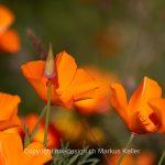 Pflanze   Blume   Kalifornischer Mohn