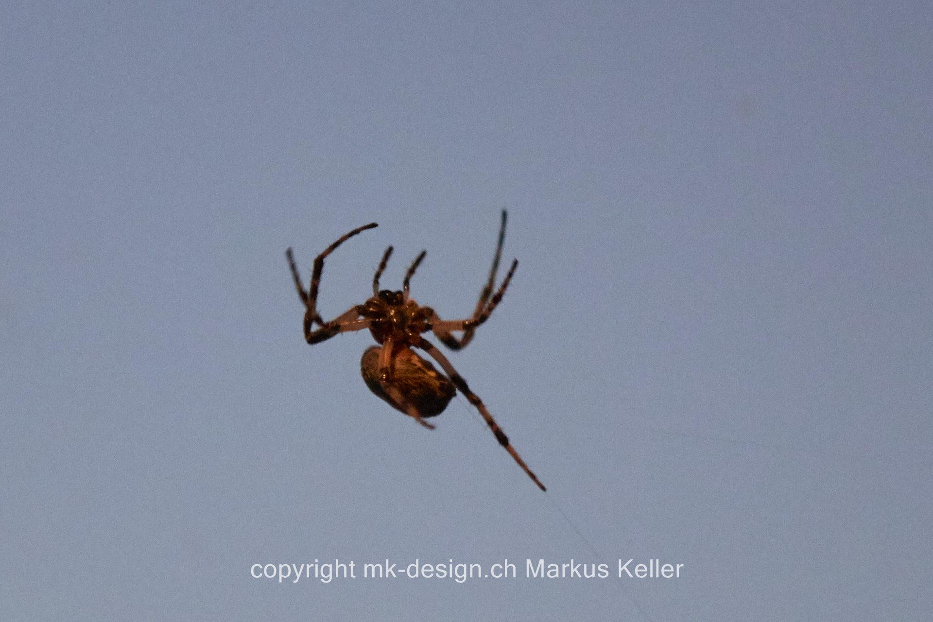 Tier   Spinne   Kreuzspinne