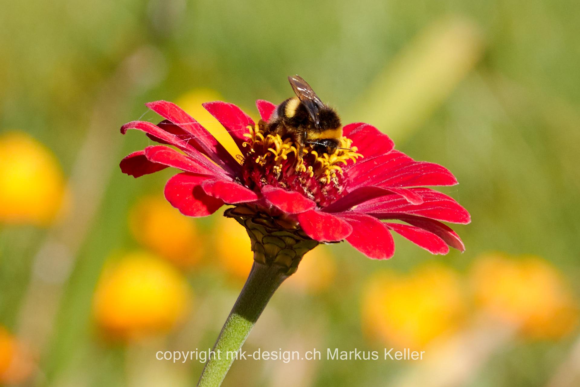Tier   Insekte   Hummel   Pflanze   Blume   Zinnie