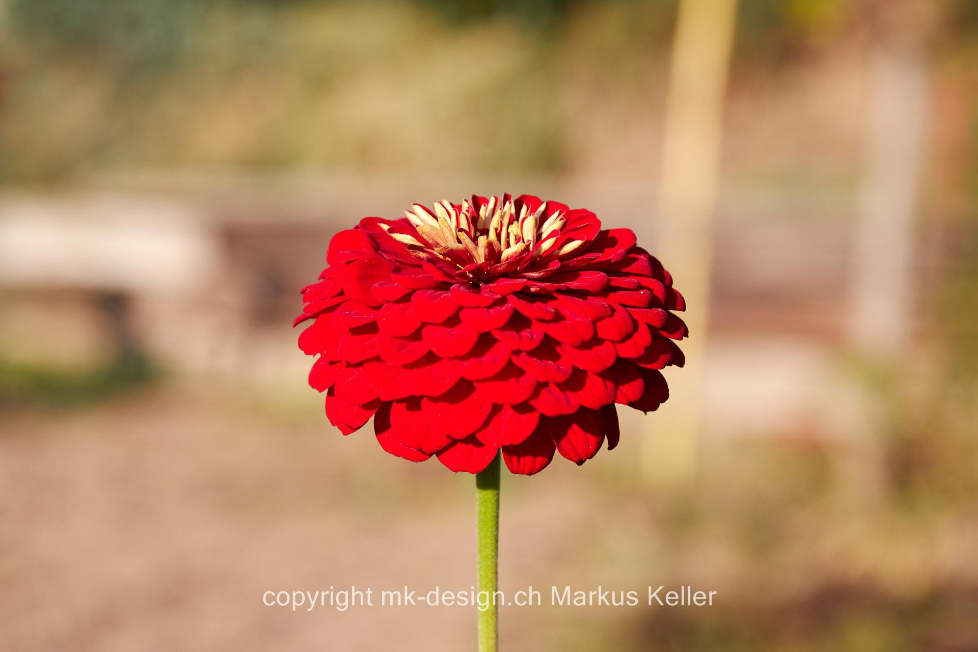 Pflanze   Blume   Zinnie