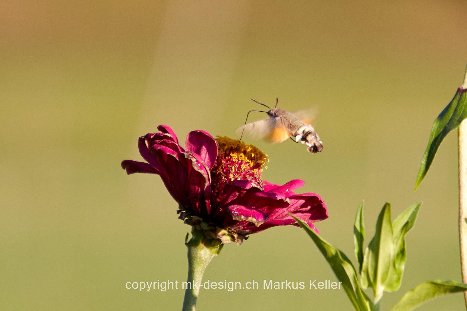 Pflanze   Blume   Zinnie   Tier   Insekte   Schmetterling   Taubenschwänzchen