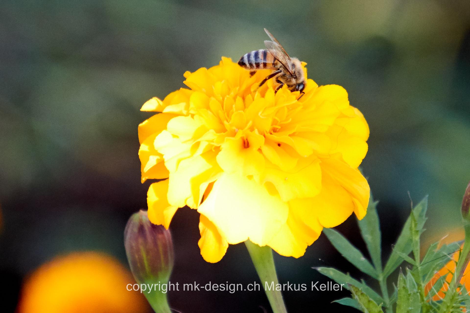 Tier   Insekte   Biene   Pflanze   Blume   Tagetes