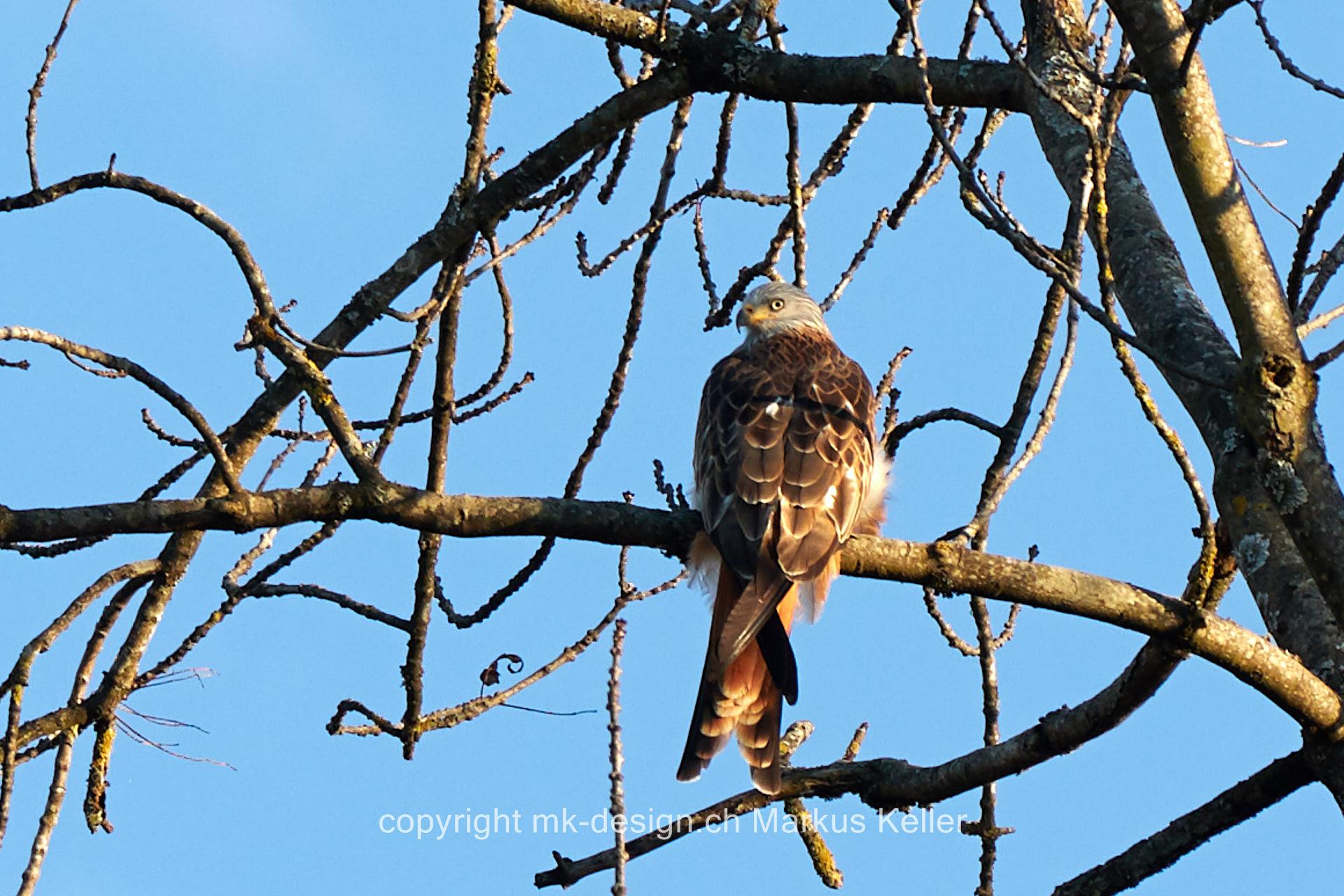Tier   Vogel   Milan   Rotmilan
