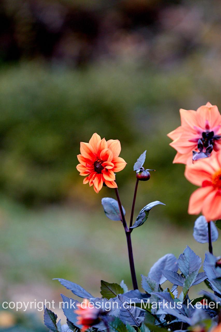 Pflanze   Blume   Herbstanemone