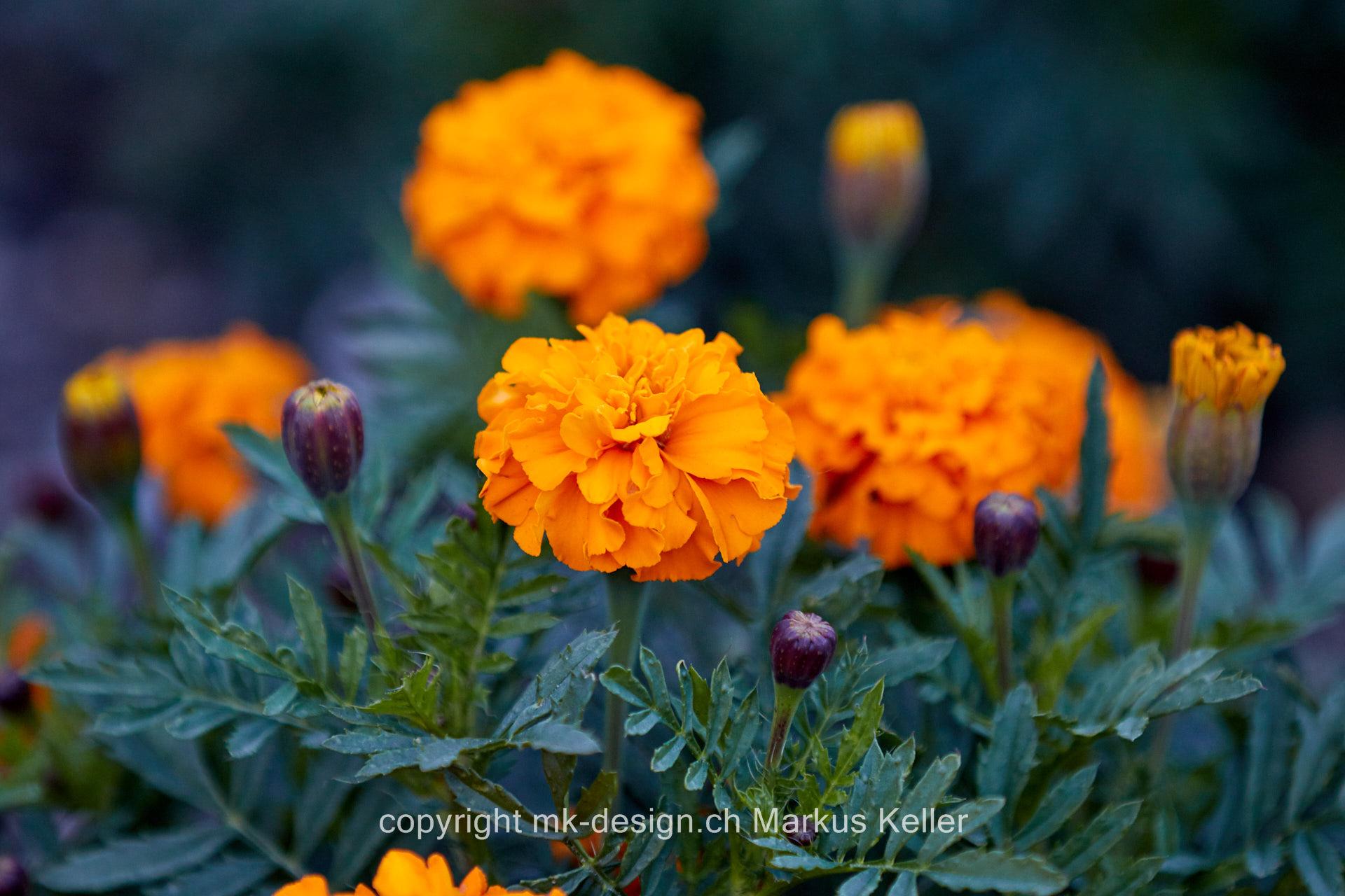 Pflanze   Blume   Tagetes