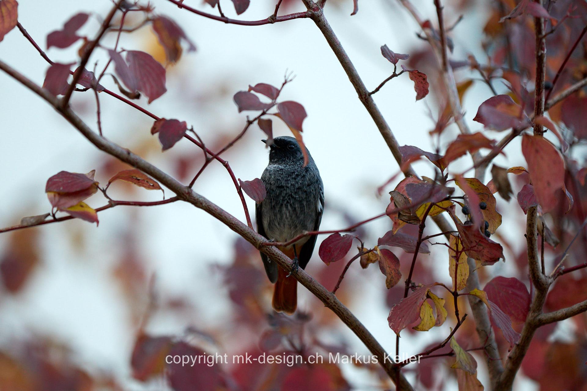 Tier   Vogel   Rotschwanz   Hausrotschwanz
