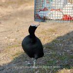 Tier   Vogel   Blesshuhn