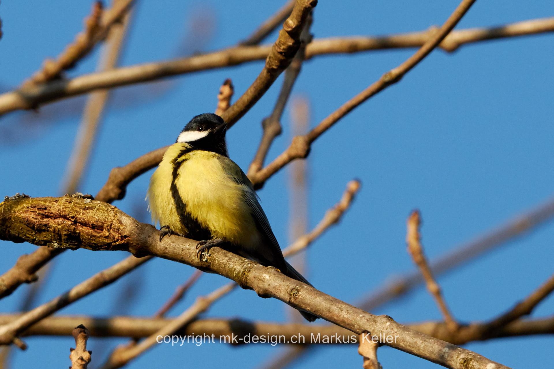 Tier   Vogel   Meise