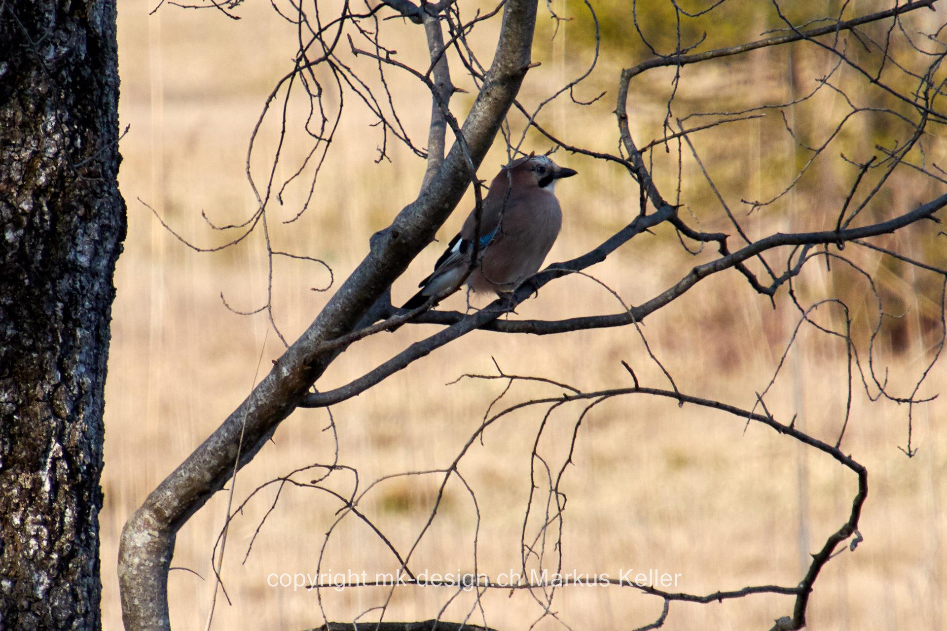Tier   Vogel   Eichelhäher
