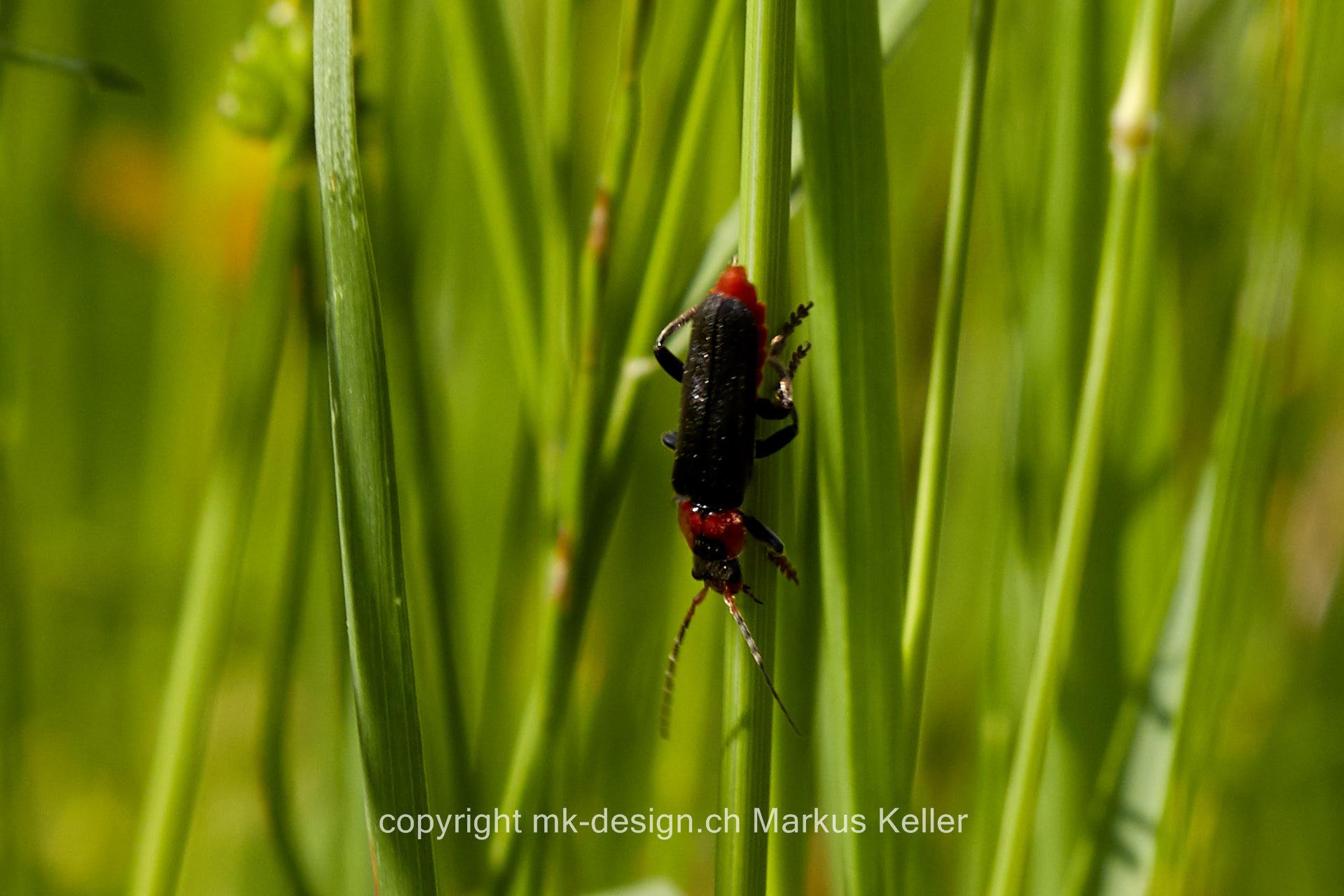 Tier   Insekte   Käfer   Soldatenkäfer