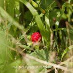 Pflanze   Erdbeere