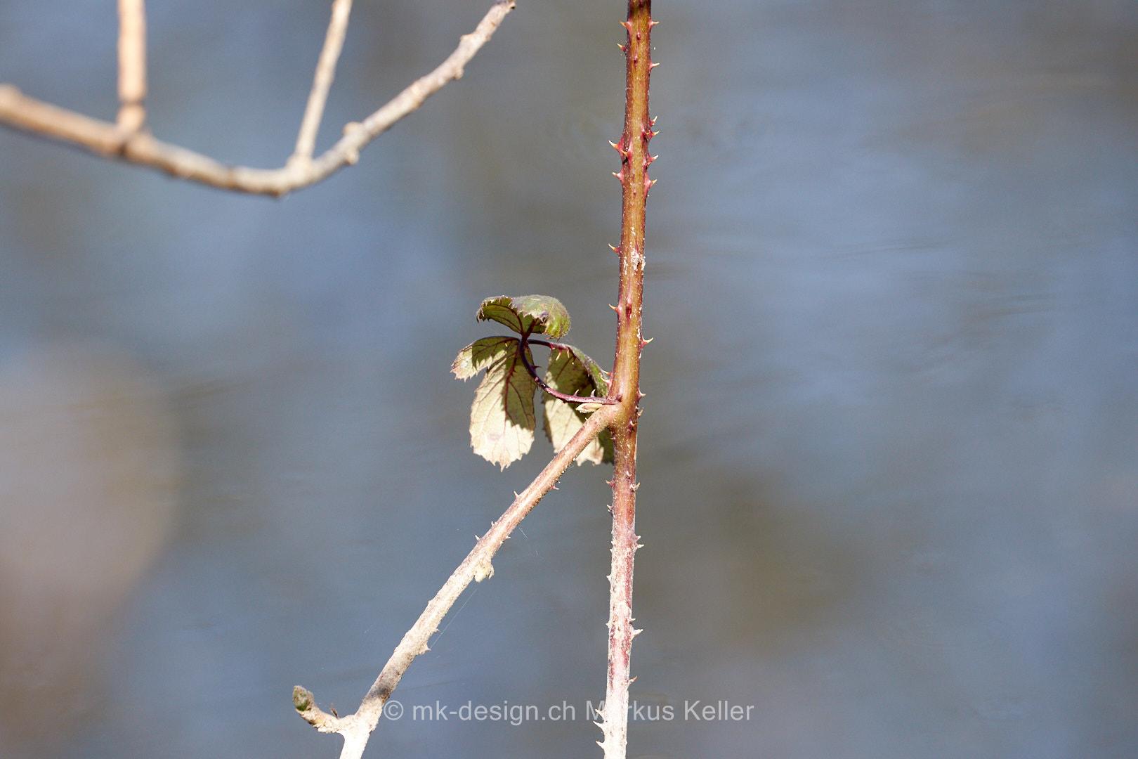 Pflanze   Blatt   Stilleben