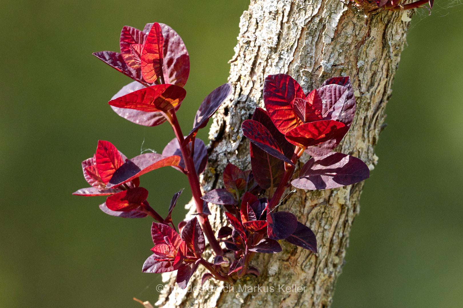 Pflanze   Spross
