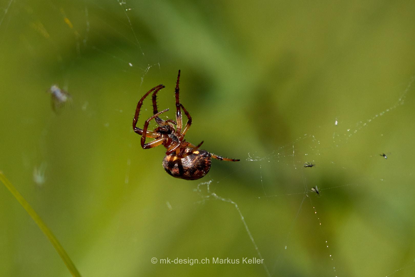 Tier   Spinne