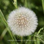 Pflanze   Blume   Löwenzahn