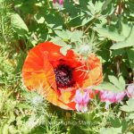 Pflanze   Blume   Mohn