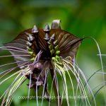 Pflanze   Blume   Fledermausblume