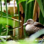 Tier   Vogel   Ente   Bernierente