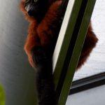 Tier   Lemur   Roter Vari
