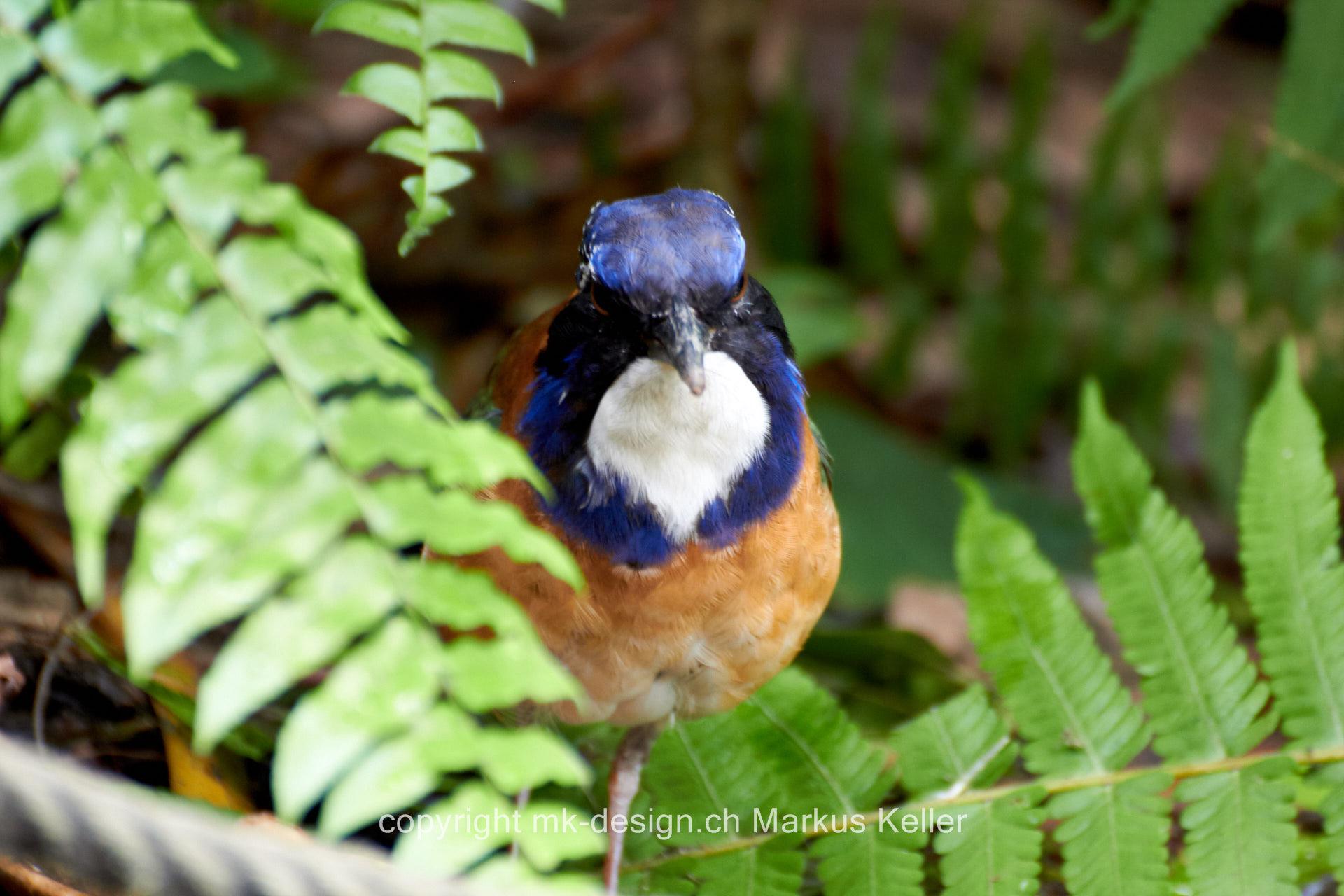 Tier   Vogel   Blaukopf-Erdracke
