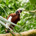 Tier   Vogel   Ibis   Mähnenibis