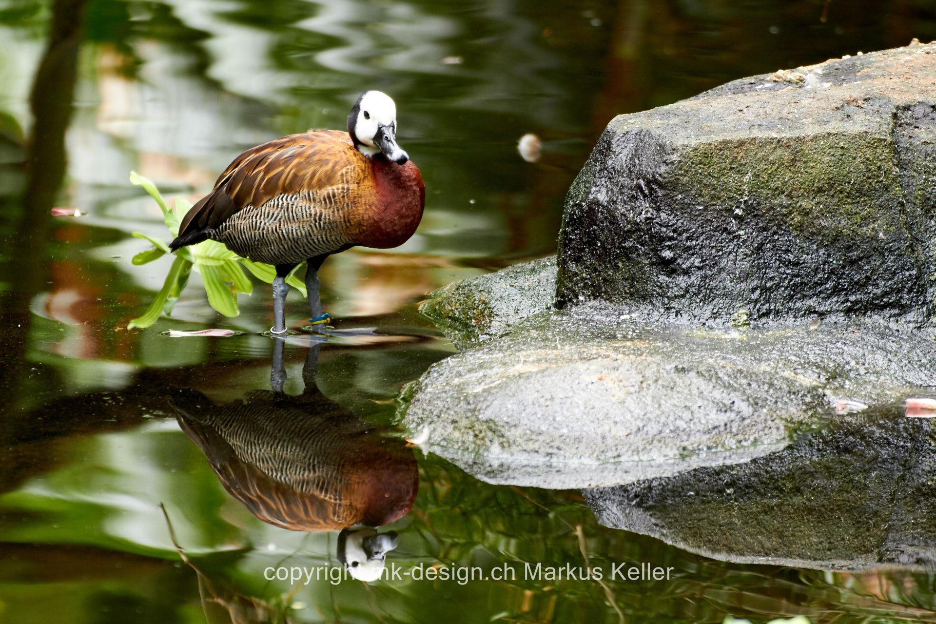 Tier   Vogel   Witwenpfeifgans