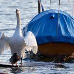 Boot   See   Pfäffikersee   Tier   Vogel   Ente   Schwan