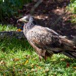Tier   Vogel   Adler   Wolf