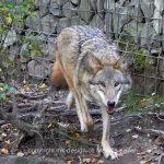 Tier   Wolf