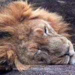 Tier   Löwe   Wolf