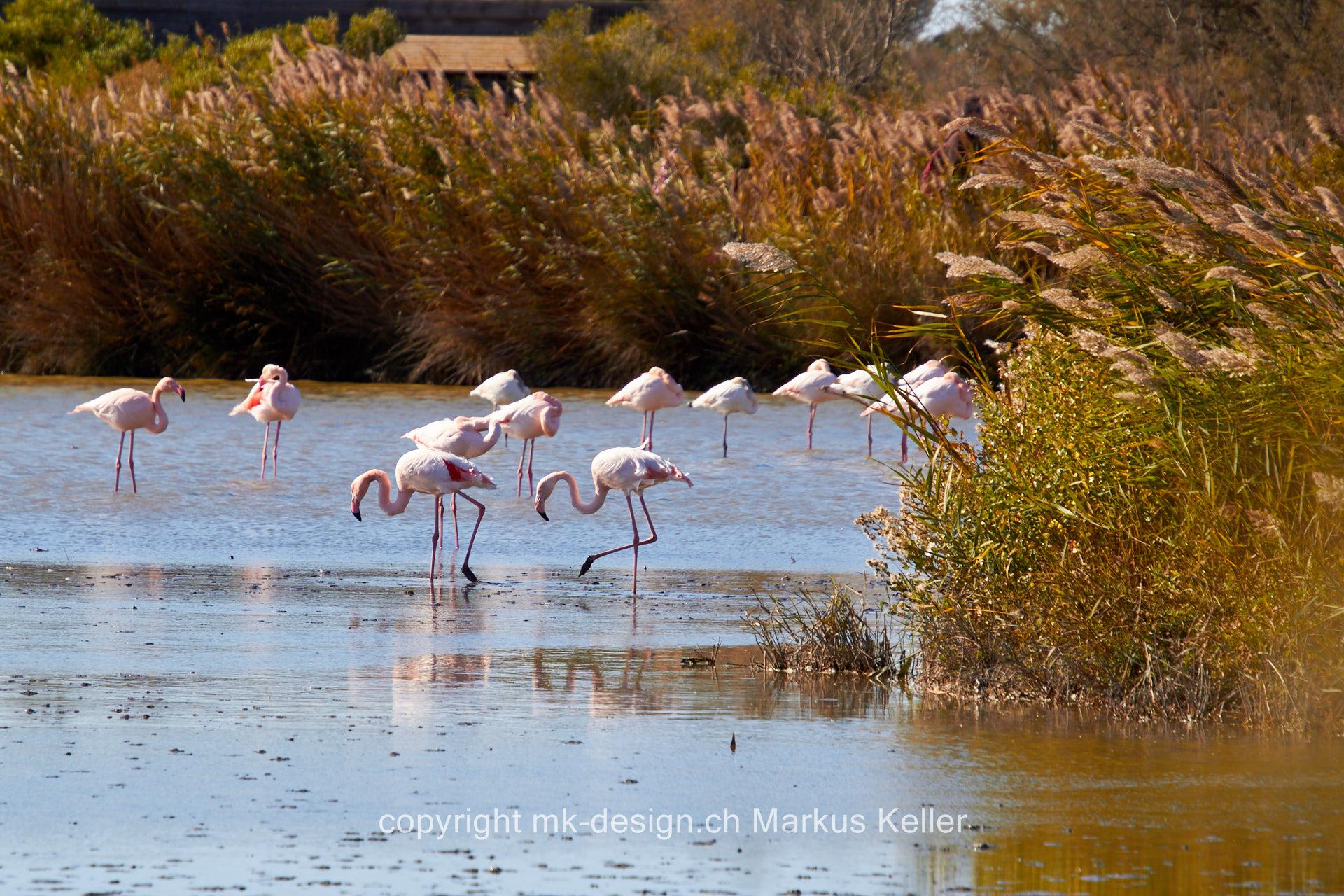 Tier   Vogel   Flamingo