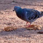 Tier   Vogel   Taube
