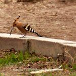 Tier   Vogel