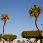 Pflanze   Baum   Palme