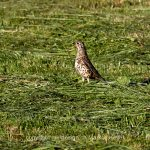 Tier   Vogel   Drossel
