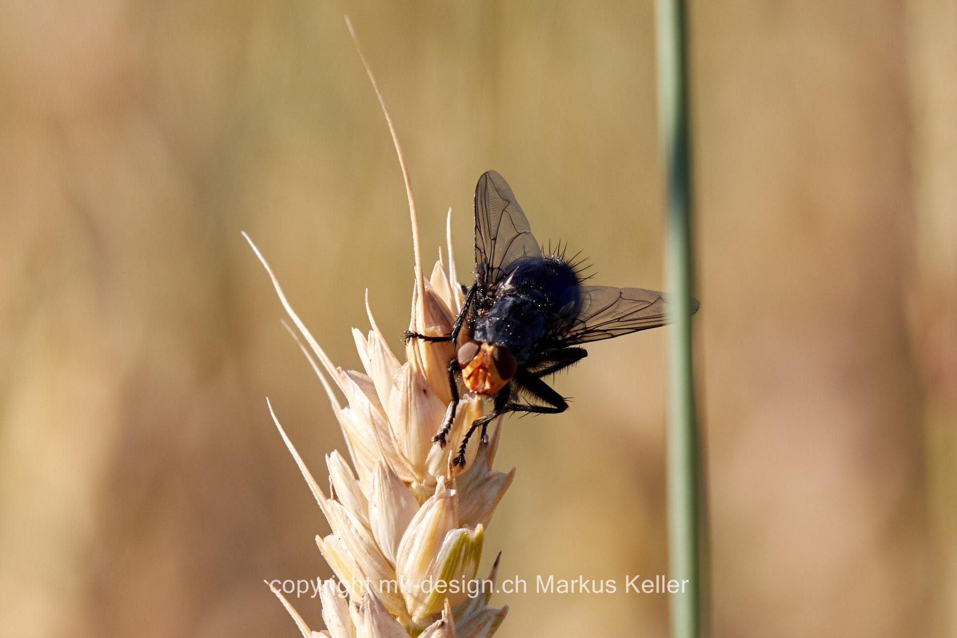 Tier   Insekte   Fliege