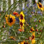 Pflanze   Blume   Mädchenauge