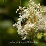 Tier   Insekte   Käfer   Rosenkäfer