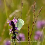 Tier   Insekte   Schmetterling   Zitronenfalter