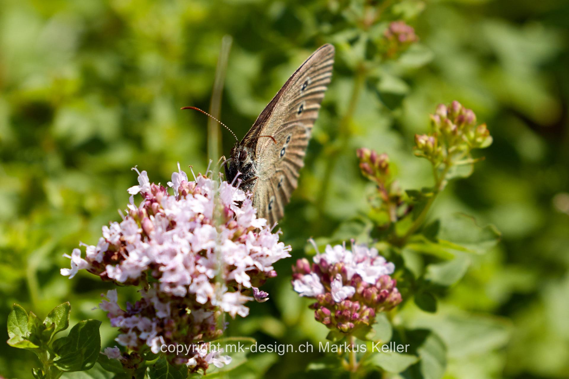 Tier   Insekte   Schmetterling   Schornsteinfeger