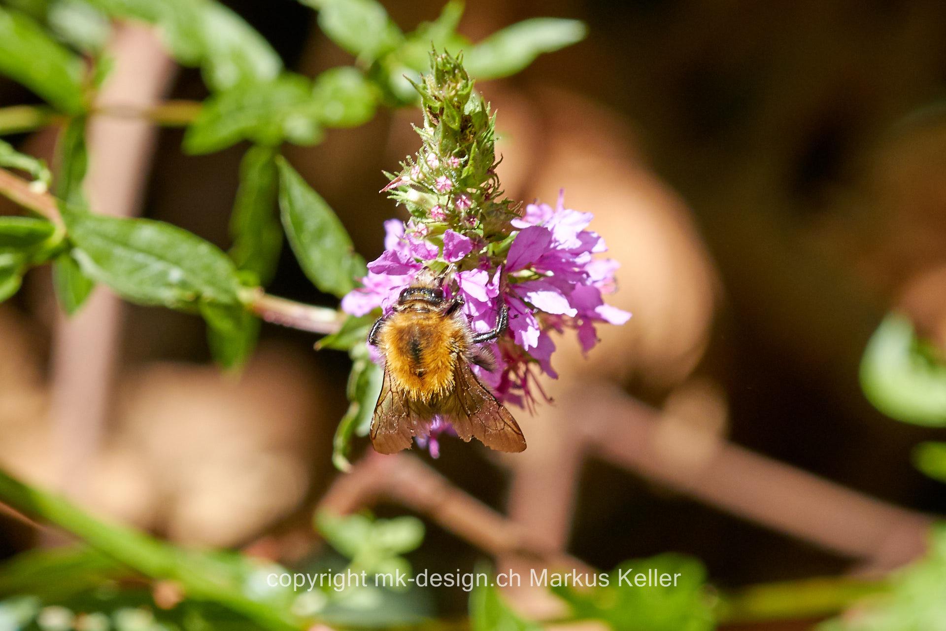 Tier   Insekte   Hummel