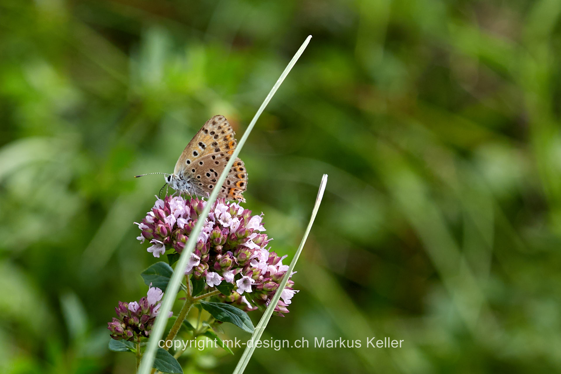 Tier   Insekte   Hummel   Schmetterling