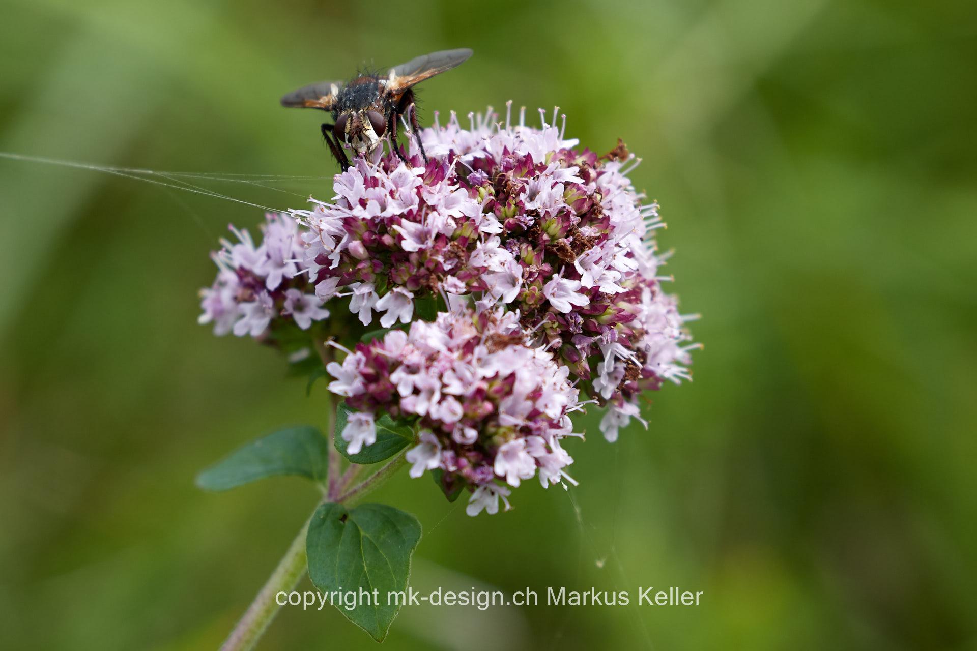 Tier   Insekte   Hummel   Fliege   Schwebfliege