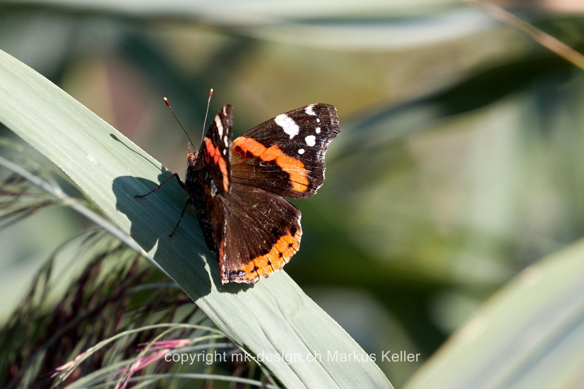 Tier   Insekte   Schmetterling   Admiral