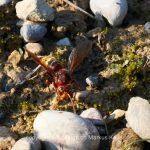 Tier   Insekte   Hornisse